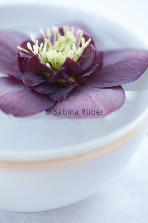 Hellebore flower floating in a gold rimmed cup