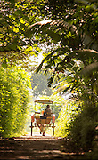 Horse drawn cart in tree lined avenue, sun dappled light, Kedu Valley, South Central Java, Java, Indonesia, Southeast Asia