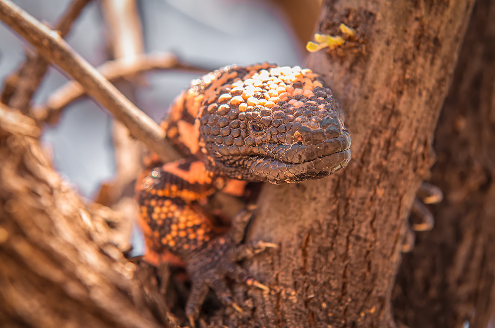 Close-up portrait of a Gila monster. This venomous lizard is only one of two venomous lizards in the world. This one was photographed in the Sonoran Desert just outside of Tucson, Arizona.