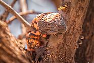 Gila Monsters and Beaded Lizards (Helodermatidae)