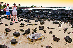 Park visitors, photographing tagged and released Green Sea Turtle, Chelonia mydas, in front of the piles of lava rocks of `Ai`Opio Fish Trap built by ancient Hawaiian, note - inscribed and painted number and the sonic transmitter epoxied on its carapace (tutle shell), U.S. Marine Turtle Research, organized by researcher George Balazs PhD, NOAA National Marine Fisheries Service (NMFS), Hawaii Preparatory Academy (HPA) students and teachers (NOAA/HPA Marine Turtle Program), and ReefTeach volunteers at Kaloko-Honokohau National Historical Park, Kona Coast, Big Island, Hawaii, USA, Pacific Ocean