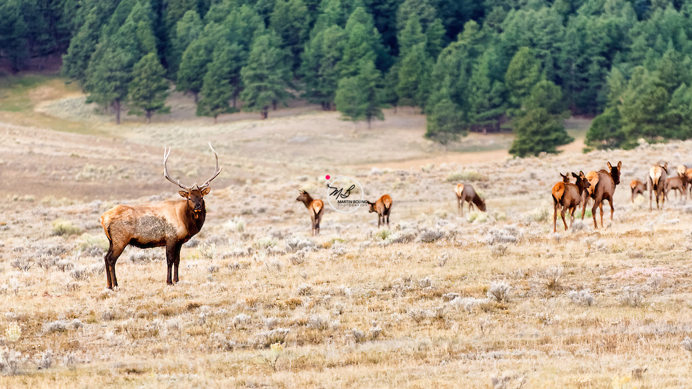 Elk Herd, Eagle Nest New Mexico