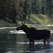 Moose (Alces alces) cow in a river. Idaho