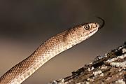 Western coachwhip snake
