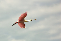 Roseate spoonbill in flight over the backwaters of Sanibel Island.