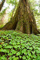 Clovers cover the forest floor in Jedediah Smith Redwoods State Park, California.