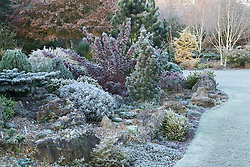 Conifers on the rock garden on a frosty winter's morning. Design: John Massey, Ashwood Nurseries
