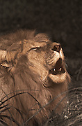 Image of a male lion (Panthera leo) moaning (toned black & white conversion) by Randy Wells