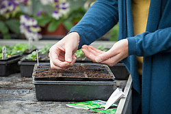 Sowing winter salad into a module tray (lettuce)