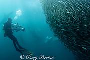 cameraman Peter Lamberti films a bait ball of sardines or pilchards ( Sardinops sagax ) during the annual Sardine Run off the east coast of South Africa at Mboyti, Transkei or Wild Coast ( Indian Ocean )