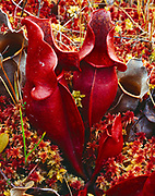 Red leaves of a Pitcher Plant, Sarracenia pururea, carnivorous plant in a sphagnum bog, Duck Pond Bog, Adirondack Park, New York.
