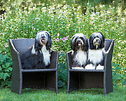 Three Tibetan terrier show dogs have portraits made in their own backyard.