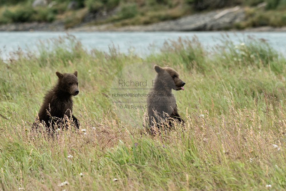 Brown bear spring cubs stand up in the grass at the McNeil River State Game Sanctuary on the Kenai Peninsula, Alaska. The remote site is accessed only with a special permit and is the world's largest seasonal population of brown bears in their natural environment.