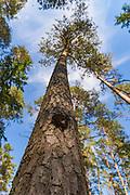 A fruiting body of bracket fungi Phellinus pini growing on old Scots pine (Pinus sylvestris), near Sietiņiezis, Gauja National Park (Gaujas Nacionālais parks), Latvia Ⓒ Davis Ulands | davisulands.com