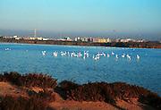 flamingoer, Cagliari, Sardinia.neg Sardinia, Italy.
