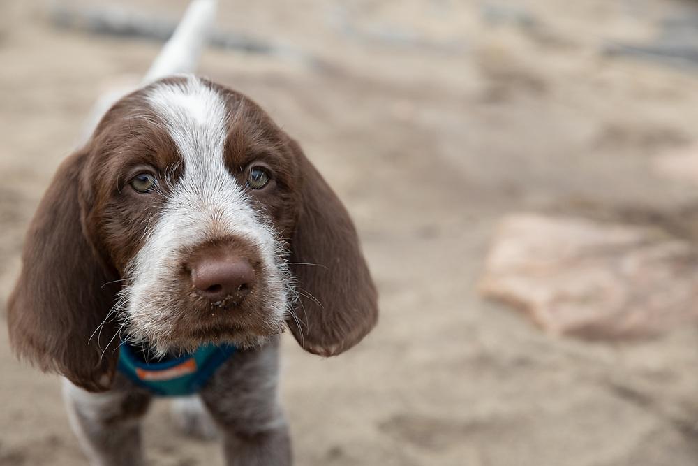 Spinone Italiano puppy portrait