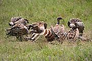 Africa, Tanzania, Lake Manyara National Park White-backed Vulture, Gyps africanus, eatring a Zebra carcass