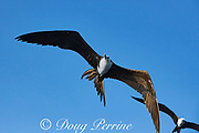 magnificent frigate birds, Fregata magnificens, offshore from southern Costa Rica, Central America ( Eastern Pacific Ocean )