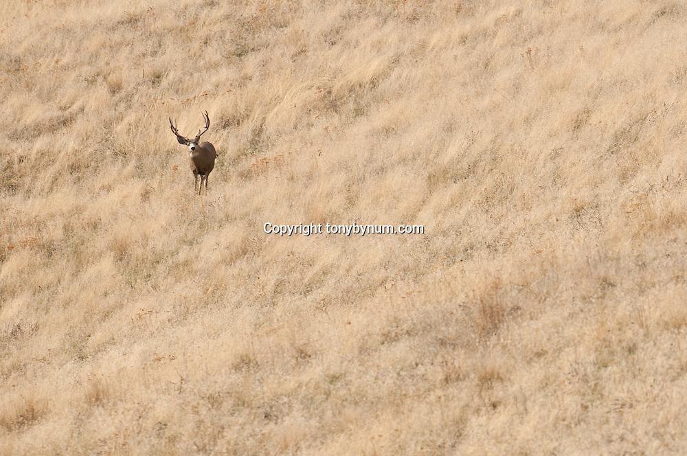 trophy mule deer buck on hill fall tall grass