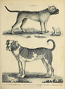Canis Dog Breeds British Bulldog (Top) Old English Mastiff (Bottom) The Alco or American Dog (Right) Copperplate engraving From the Encyclopaedia Londinensis or, Universal dictionary of arts, sciences, and literature; Volume III;  Edited by Wilkes, John. Published in London in 1810