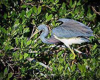 Tricolored Heron. Blackpoint Wildlife Drive, Merritt Island National Wildlife Refuge. Image taken with a Nikon D4 camera and 500 mm f/4 VR lens (ISO 720, 500 mm, f/5.6, 1/3200 sec).