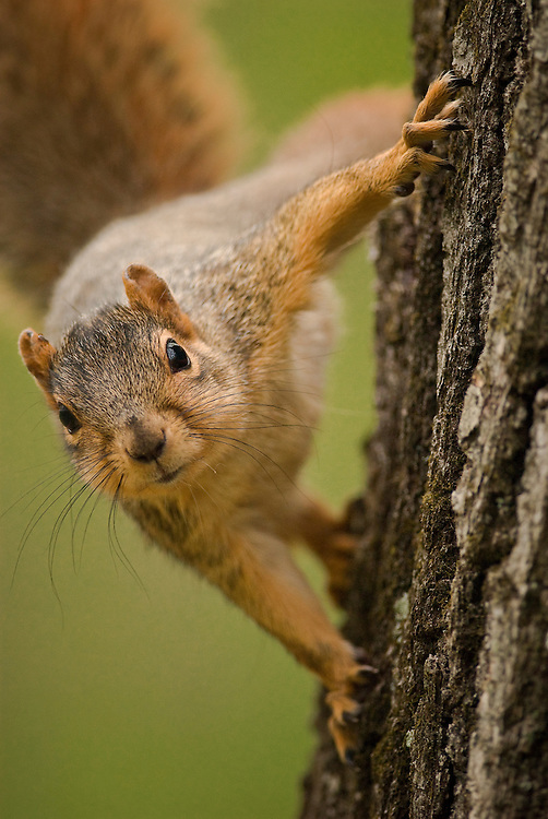 Secor Squirrel