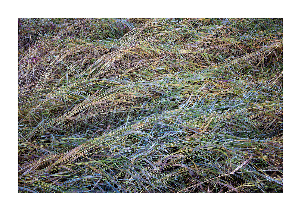 Grasses laid down.  Overnight dew and end of summer means that the grasses can no longer hold their own weight