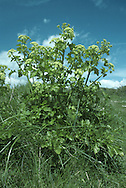 ALEXANDERS Smyrnium olusatrum (Apiaceae)  Height less than 1.25m. Stout and sometimes clump-forming, hairless biennial. Favours waste ground, roadside verges and hedgerows, mainly on calcareous soils. FLOWERS are yellowish and borne in umbels, 4-6cm across, with 7-15 rays (Mar-Jun). FRUITS are globular, ridged and black when ripe. LEAVES are dark green, shiny and 3 times trifoliate.