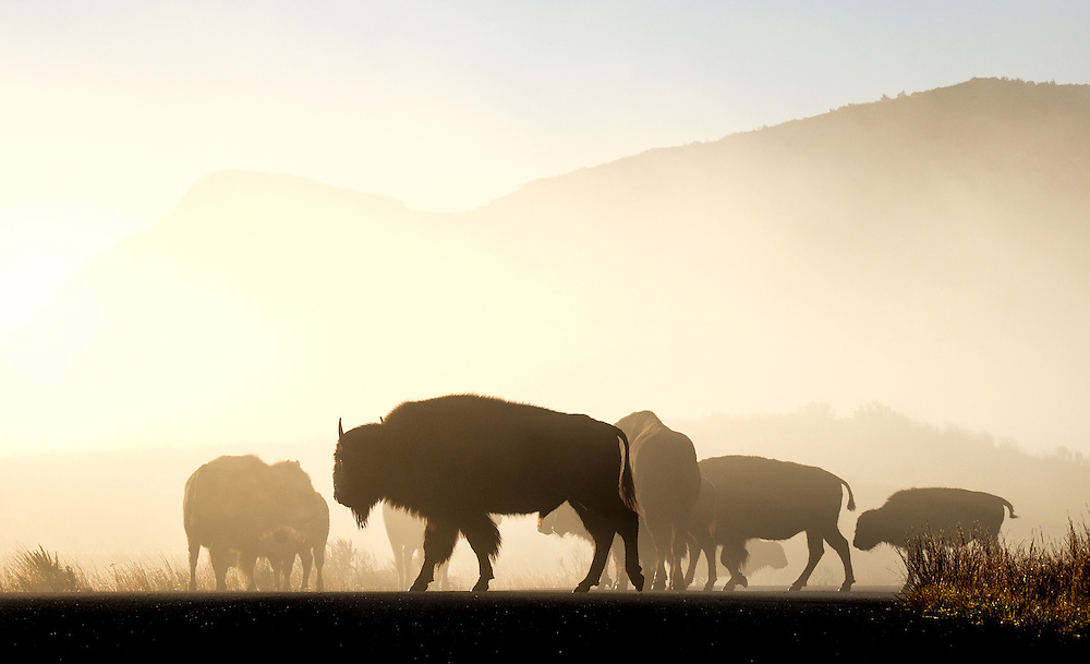 I ran into a very large herd early one morning.