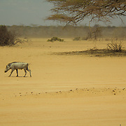 Warthog, surviving in arid, drought-stricken North Eastern Kenya.