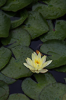 """Lotus Blossoms - Nelumbo is a genus of aquatic plants with large, showy, water lily-like flowers commonly known as lotus or sacred lotus.  They are also called water lillies. There are two species in the genus, the better known of which,  """"Sacred Lotus,"""" is the well known national flower of India and Vietnam."""