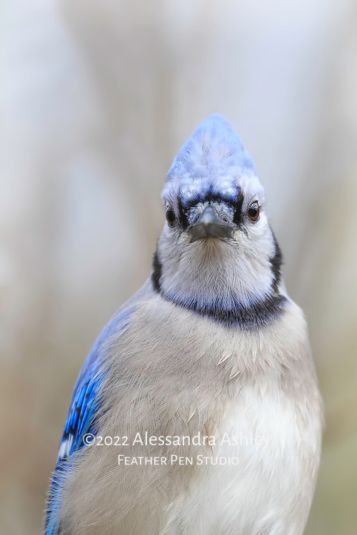 Blue jays often appear as though they have something to say, and one expressive look from a jay can be worth a thousand words. Blue jay (Cyanocitta cristata)  photographed on cloudy autumn afternoon.
