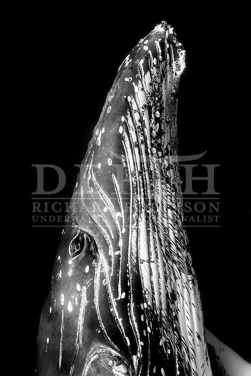 Megaptera novaeangliae (Humpback Whale) female off the coast of the Vava'u Island group in the Kingdom of Tonga.<br /> Tuesday 04  September 2012.<br /> Photograph Richard Robinson © 2012.