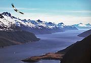 Andean condor Vultur gryplus, flying over Beagle Channel, Cordillera darwin, Isla Grande, Tierra del Fuego, Chile.