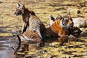 A female Bengal tiger with cubs (Panthera tigris tigris) laying in a water hole to cool down, Ranthambhore National Park, Rajasthan, India,