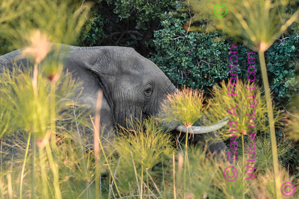 Elephant passing on the far side of the papyrus that grows along the waterways of Okavango, with island forest beyond. Africa, © David A. Ponton