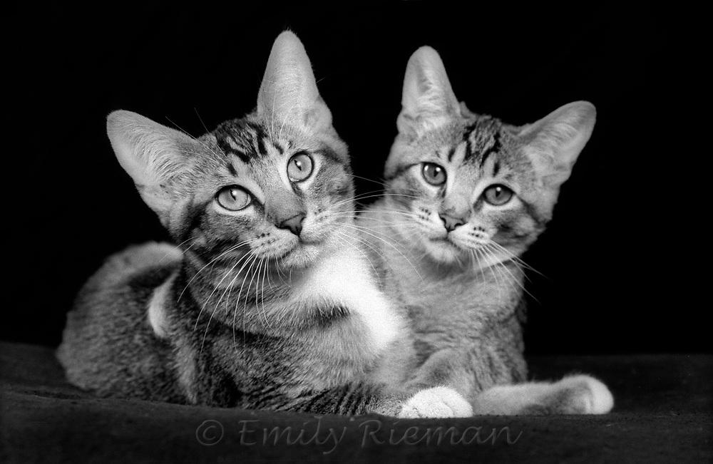 Portrait of kittens shot on black and white film.