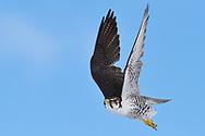 Saker falcon, Falco cherrug milvipes,  Keke Xili, Changtang, Tibetan Plateau, Qinghai, China