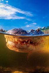 American alligator, Alligator mississippiensis, Everglades National Park, Florida