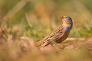 Male Cretzschmar's bunting (Emberiza caesia) is a passerine bird in the bunting family Emberizidae, Photographed in Israel in March