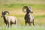 A male and female Bighorn sheep stand in a mountain meadow in the Rocky Mountain National Park in Estes Park, Colorado.
