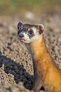 Wild, endangered Black-footed ferret (Mustela nigripes) in open grassland prairie habitat
