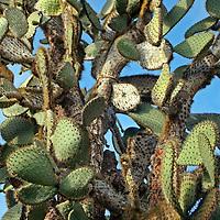 South America, Ecuador, Galapagos Islands. Galapagos Prickly Pear Cactus on Santa Ccruz Island.