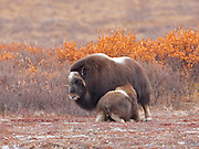 """Alaska; Muskox (Ovibos moschatus) calf nursing on the autumn tundra of the Seward Peninsula, outside of Nome.  Muskox, called omingmak meaning """"the animal with skin lake a beard"""" by the local Inupiaq people."""
