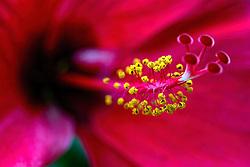 Rosa sinensis, red hibiscus#6