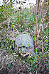 Common Snapping Turtle (Chelydra serpentina) through grass on way to pond, Trinity River Audubon Center, Dallas, Texas, USA.
