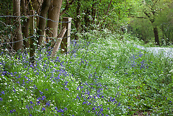 Bluebells, Stitchwort and Cow parsley growing by a road near Exbury. Hyacinthoides non-scriptus, Stellaria holostea, Anthriscus sylvestris