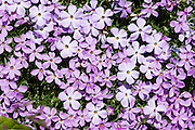 "Spreading phlox / Phlox diffusa flowers bloom on Blackcomb Mountain, in the Coast Range, British Columbia, Canada. Phlox (pronounced ""flocks,"" from the Greek word for ""flame"") is a genus of perennial and annual plants in the family Polemoniaceae. Phlox are found mostly in North America (one species in Siberia) in diverse habitats from alpine tundra to open woodland and prairie."