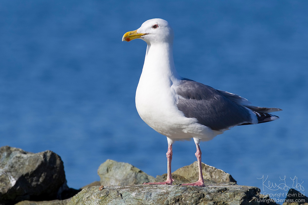 A western gull (Larus occidentalis), displaying its non-breeding plumage, rests on the rocky shore of Puget Sound, Washington. Most adult gulls have red spots at the tips of their bills; newborn chicks peck at that spot to get the adult to regurgitate food for it to eat.