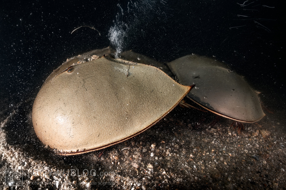 This is a pair of endangered tri-spine horseshoe crabs (Tachypleus tridentatus) preparing to spawn. The larger female in front has chosen a place to deposit eggs. She has just commenced digging. The bubbles streaming up from between her prosoma and opisthosoma are the result of pockets of air trapped in the mud and gravel being released due to the female's excavation. Spawning takes place in the intertidal zone, which is the reason that air is present in the sediment. The smaller male is firmly affixed to the female's opisthosoma. He will fertilize the eggs she deposits, and then the pair will move on to find another location to spawn again.<br /> <br /> Although these animals are called crabs, they are not members of the Subphylum Crustacea. They belong to a separate Subphylum—Chelicerata—which also comprises sea spiders, arachnids, and several extinct lineages such as sea scorpions. The earliest known fossils of horseshoe crabs date back 450 million years ago, qualifying these animals as living fossils, as they have remained largely unchanged.<br /> <br /> Tachypleus tridentatus is the largest of the four living species of these marine arthropods, all of which are endangered.<br /> <br /> Though habitat loss and overharvesting of these animals for food are primary contributors to the population decline of horseshoe crabs, the biomedical industry is also a major factor. Horseshoe crabs are bled for their amoebocytes (akin to white blood cells), which are used to derive an extract that reacts in the presence endotoxin lipopolysaccharide, which is found in the membranes of gram-negative bacteria. Estimates suggest that between three and 30% of the animals die as a result. There have also been suggestions that taking up to a third of each animal's blood adversely affects their ability to undertake vital functions, such as procreation, even if the animals survive.